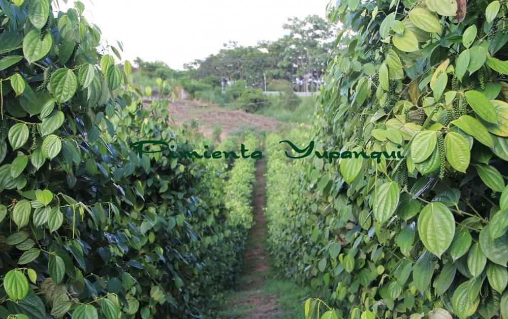 Comprar Plantas de Pimienta