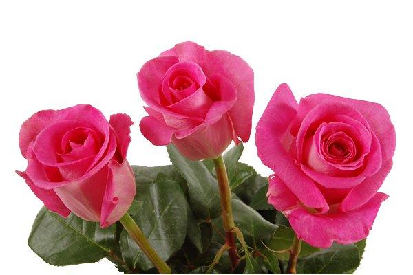 Comprar Rose Attache