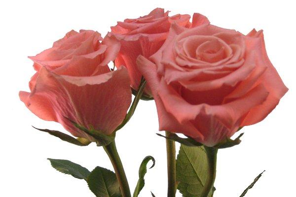 Comprar Rose Amsterdam