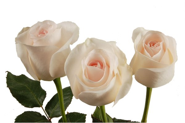 Comprar Rose Bridal Akito