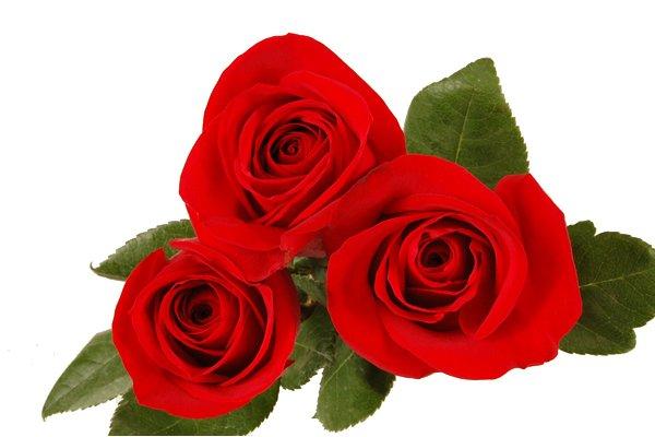 Comprar Rose Freedom