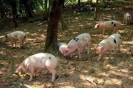 Comprar Lechon de Cerdo de 45 dias