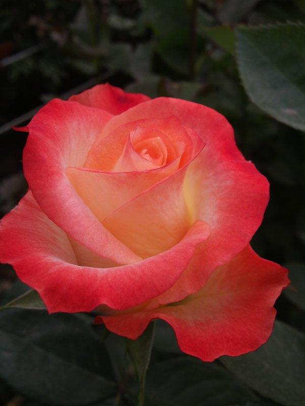 Comprar Rosas frescas