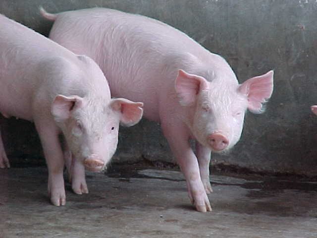 Comprar Alimentos balanceados para Cerdos