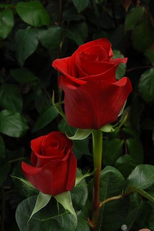 "Comprar Rosas Rojas ""Freedom"""
