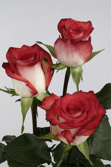 "Comprar Rosas ""Blush"""