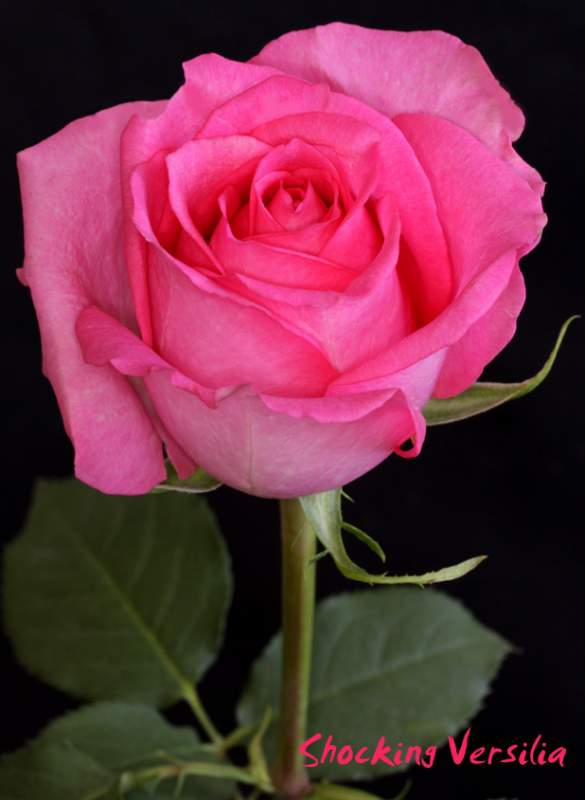 rosas rosadas shocking versilia comprar en quito