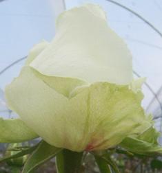 "Comprar White Roses ""Vendela"""