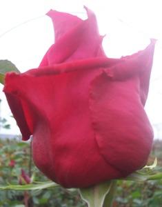 "Comprar Red Roses ""Preference"""