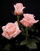 "Comprar Rosas de color rosado ""Engagement"""