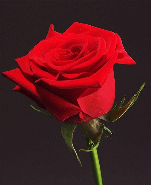 Comprar Red Roses Charlotte