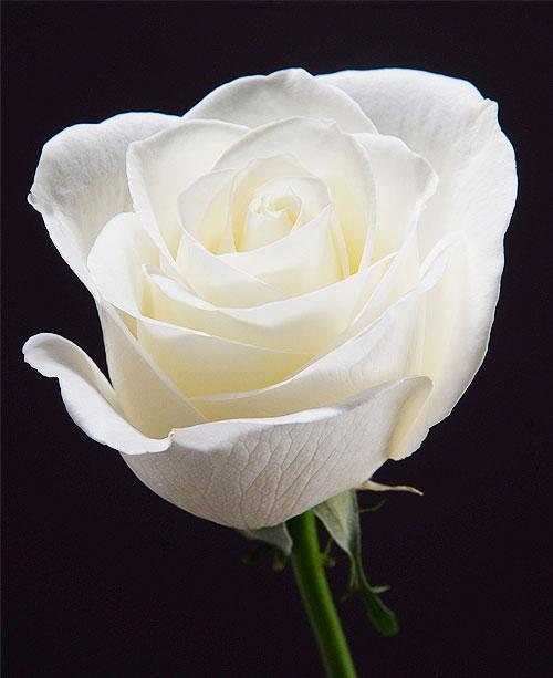 Comprar White Roses Escimo