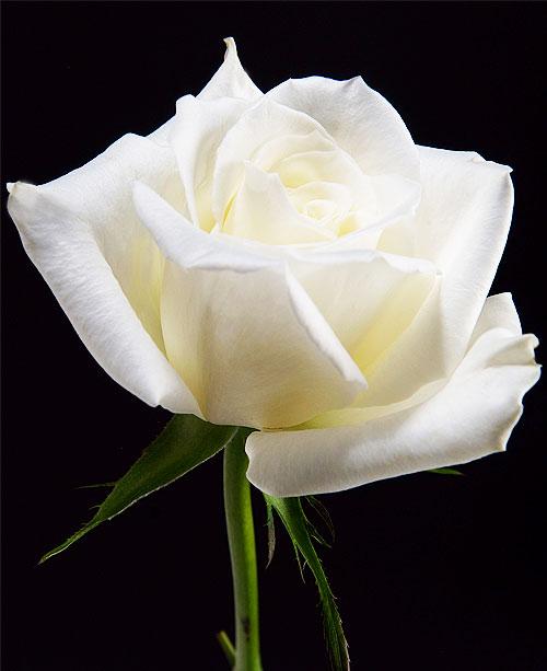 Comprar White Roses Polo