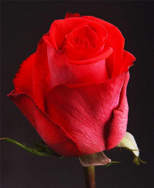 Comprar Pink Roses Raphaela
