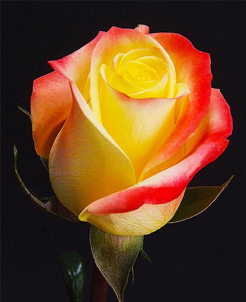 Comprar Bicolor Roses Florida