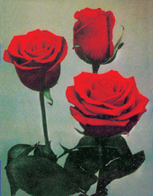 """Comprar Red Roses """"Forever Young"""""""