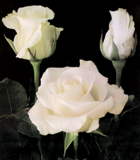 """Comprar White Roses """"Amelia"""""""