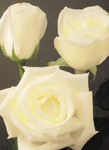 """Comprar White Roses """"Virginia"""""""