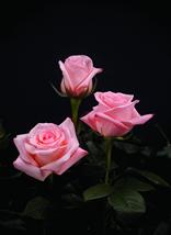 "Comprar Pink Roses ""Engagement"""