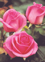 "Comprar Pink Roses ""Pavarotti"""