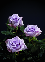 "Comprar Lavender/Purple Roses ""Ocean Song"""