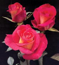 """Comprar Bi - Color Roses """"Big Fun"""""""