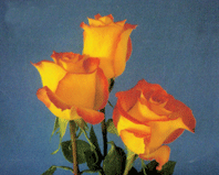 "Bi - Color Roses ""Lina"""