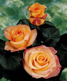 "Comprar Bi - Color Roses ""Latin Beauty """