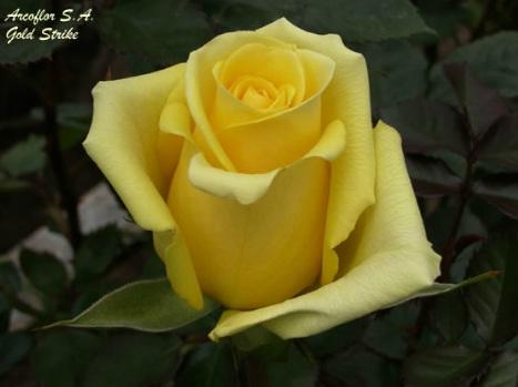 Rosas de color Amarillo