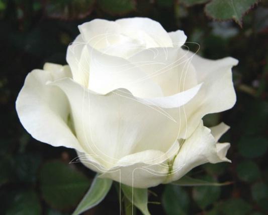Comprar Rosas de Color Blanco