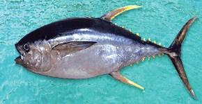 Comprar Atun Aleta Amarilla/ Yellow Fin Tuna