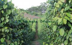 Plantas de Pimienta