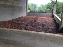 Cocoa grain / cacao en grano
