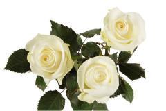 Rose Akito