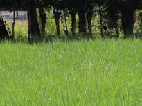 Brachiaria decumbens cv Basilisk