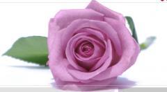 Rosas color Lavanda