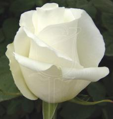 Rosa Blizzard