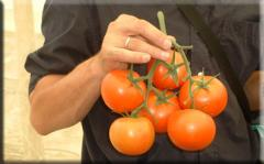 Semillas de tomates de mesa