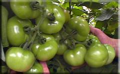 Semillas de tomates Shiry