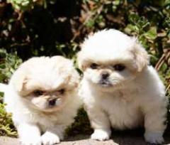 Cachorros de Pequines