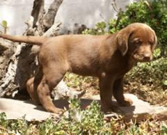 Cahorros de Labrador Retriver