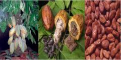 Cacao Manobando hermanos