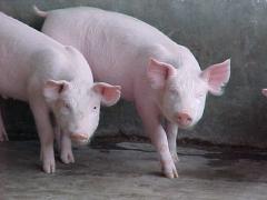 Alimentos balanceados para Cerdos