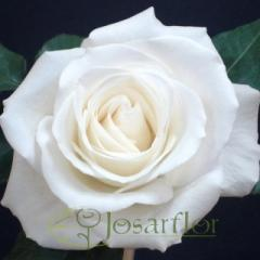 "Rosas Blancas ""Tibet"""