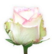 """Rosas Rosadas """"Esperance"""""""