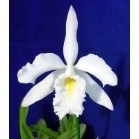 Cattleya maxima alba 'Francisco'