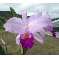 Cattleya trianaei 'Cachetona code 2500'