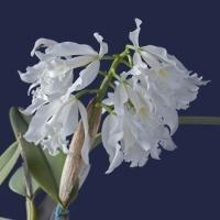 Cattleya maxima alba 'Angel'