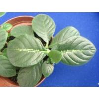 Chamaeranthemun igneum