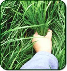 Semillas Certificadas de Pastos y Forrajes